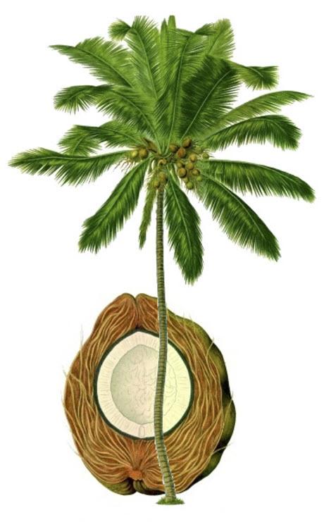 Coconut Tree uses