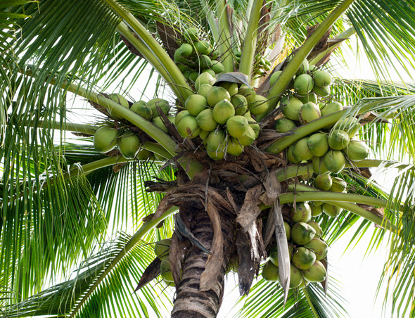 Coconut Tree with ripe fruit nuts