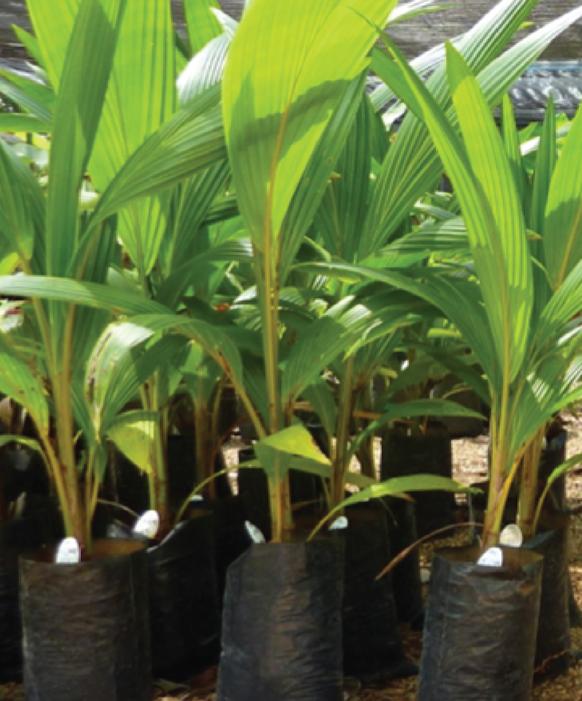 Coconut palms in nursery