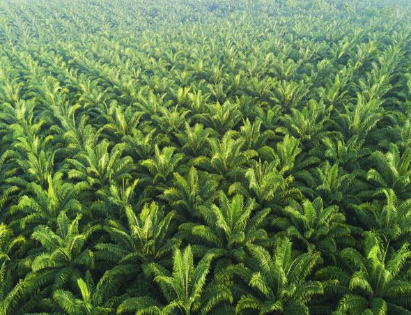 Large Coconut Plantation